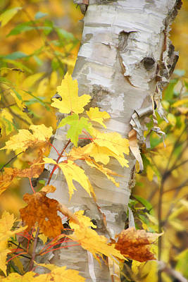 Photograph - Birch Peels by Leda Robertson