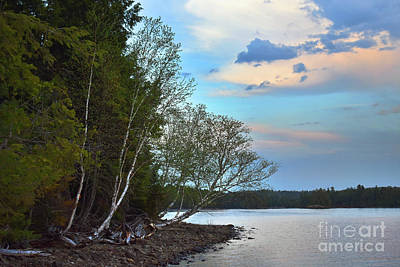 Photograph - Birch Shoreline by Skip Willits