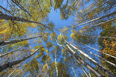 Photograph - Birch Sky by Chris Whiton