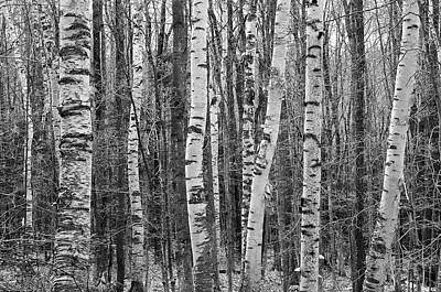No People Photograph - Birch Stand by Ron Kochanowski - www.kochanowski.us