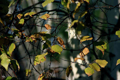 Photograph - Birch Tangle by Wayne King