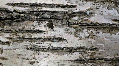 Photograph - Birch Textures 52 by Mary Bedy