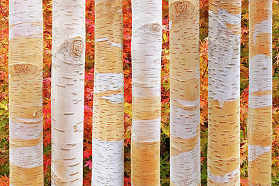 Photograph - Birch Tree Autumn Abstract by Gill Billington