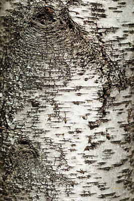 Print featuring the photograph Birch Tree Bark by Christina Rollo