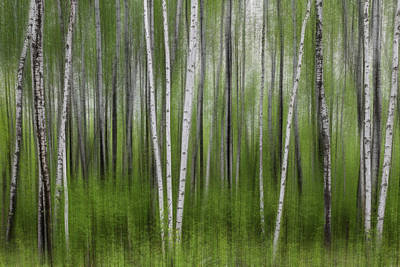 Photograph - Birch Tree Forest #5 by Patti Deters