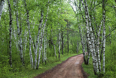Photograph - Birch Tree Forest Path #1 by Patti Deters