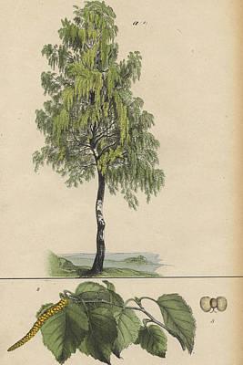 Maple Leaf Art Drawing - Birch Tree by German Botanical Artist