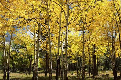 Photograph - Birch Tree Grove  by Saija Lehtonen