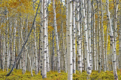 Birch Tree Grove With A Touch Of Yellow Color Art Print