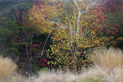 Photograph - Birch Tree In Autumn by Angela Murdock