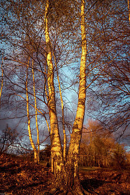 Photograph - Birch Tree In Golden Hour by Lilia D