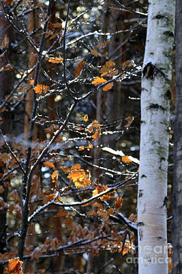 Photograph - Birch Tree In Winter by Kathy DesJardins