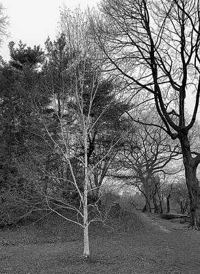 Photograph - Birch Tree One B W  by Rob Hans