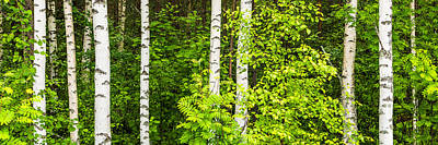 Photograph - Birch Tree Panorama by Stefan Mazzola