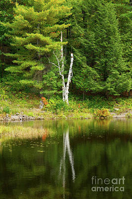Photograph - Birch Tree Reflection by Les Palenik