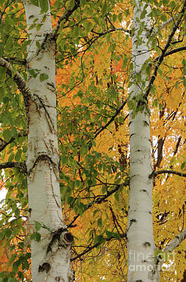 Photograph - Birch Tree by Ronald Grogan