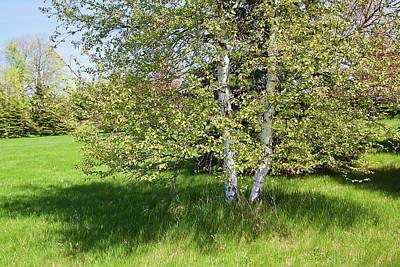 Photograph - Birch Tree by Tatiana Travelways