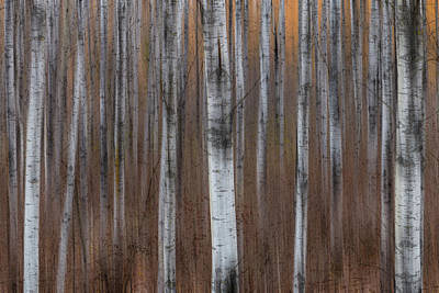 Photograph - Birch Trees Abstract #1 by Patti Deters