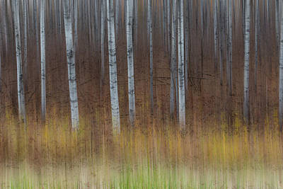 Photograph - Birch Trees Abstract #3 by Patti Deters
