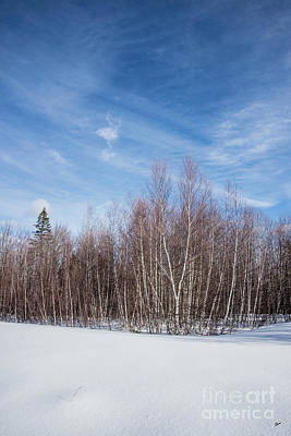 Photograph - Birch Trees And Snow by Alana Ranney
