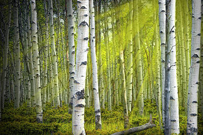 Photograph - Birch Trees Bathed In Sunlight Beams by Randall Nyhof