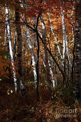 Photograph - Birch Trees In The Fall by Kathy DesJardins
