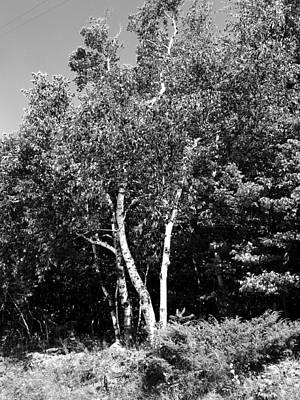 Photograph - Birch Trees by Joseph Frank Baraba