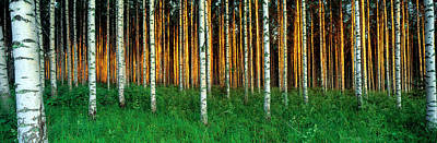 Repetition Photograph - Birch Trees, Saimma, Lakelands, Finland by Panoramic Images