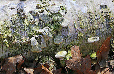 Photograph - Birch With Green Fungi 11 by Mary Bedy