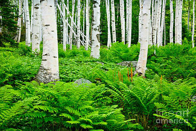 Photograph - Birches And Ferns by Susan Cole Kelly