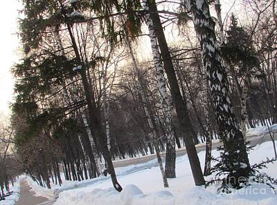 Photograph - Birches And Firs by Anna Yurasovsky