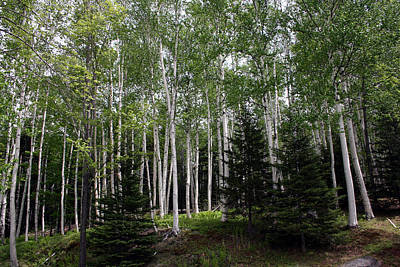 Photograph - Birches by Heather Applegate