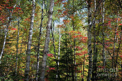 Algonquin Photograph - Birches In Fall Forest by Elena Elisseeva