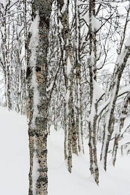 Photograph - Birches In Snow by Alex Lapidus
