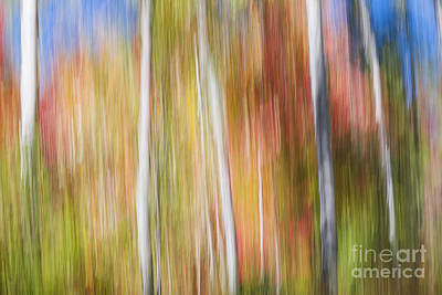 Impressionism Photos - Birches in sunny fall forest by Elena Elisseeva