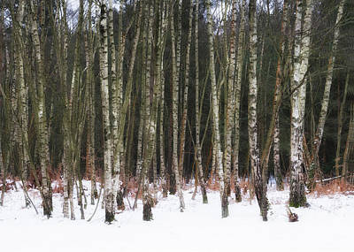 Photograph - Birches In The Snow by Shirley Mitchell
