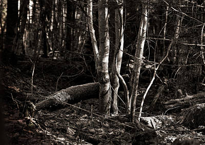 Dappled Light Photograph - Birches In The Wood by Susan Capuano