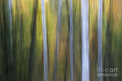 Impressionism Photos - Birches in twilight by Elena Elisseeva