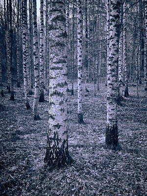Photograph - Birches by Jouko Lehto