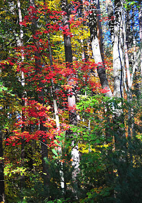 Photograph - Birches Of Autumn by Brian Hoover