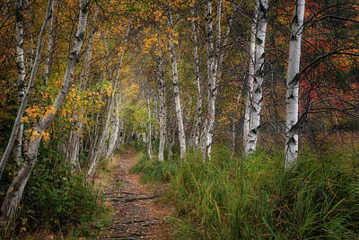 Photograph - Birches Of Fall by Darylann Leonard Photography