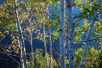 Photograph - Birches On Lake Shore by Elena Elisseeva