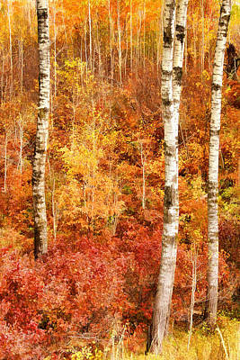 Photograph - Birches Young And Old by Leda Robertson