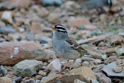 Photograph - White-crowned Sparrow - 2 by Christy Pooschke
