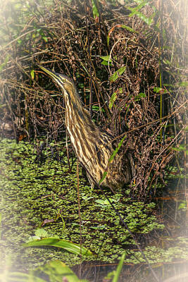 Photograph - Bird American Bittern Dsc00932_16 by Greg Kluempers