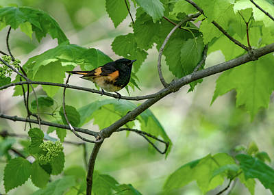 Photograph - Bird - American Redstart by Ron Grafe
