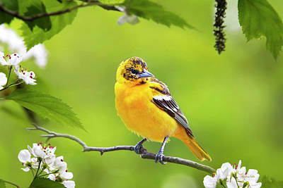 Animals Photos - Bird and Blooms - Baltimore Oriole by Christina Rollo