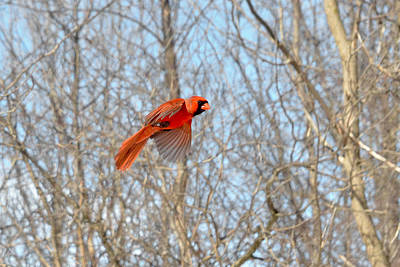 Bird Banding - Cardinal Art Print by Asbed Iskedjian