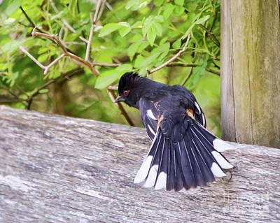 Photograph - Bird Behavior - Eastern Towhee Fans His Tail by Kerri Farley