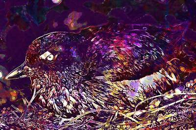 Auklets Digital Art - Bird Cassins Auklet Crested Birds  by PixBreak Art